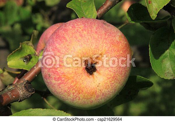 Apples on the tree - csp21629564