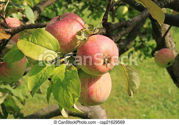 Apples on the tree - csp21629569