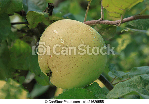 Apples on the tree - csp21629555