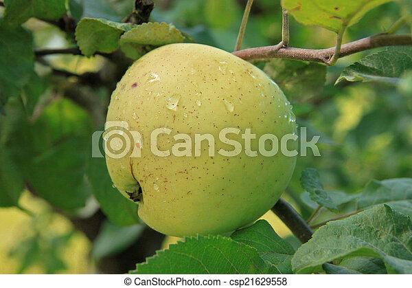 Apples on the tree - csp21629558