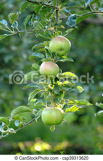Apples on the tree - csp39313620