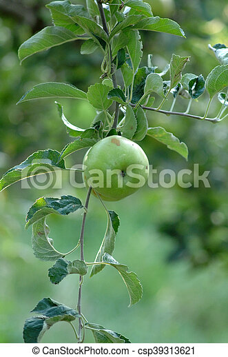 Apples on the tree - csp39313621
