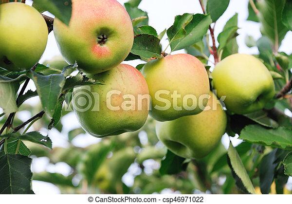 apples on the tree - csp46971022