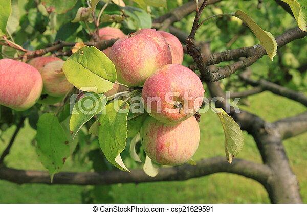 Apples on the tree - csp21629591
