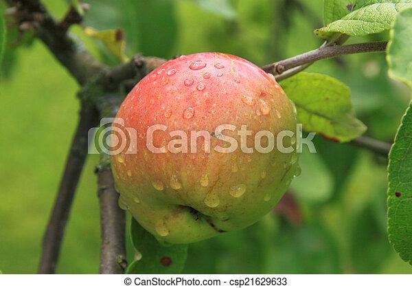 Apples on the tree - csp21629633