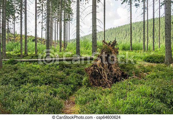 après, forêt arbre, orage, baissé, racines - csp64600624