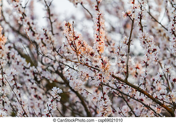 apricot flowers in the first rays of the spring sun - csp69021010