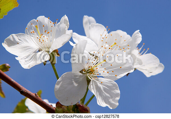 apricot flowers on the branch - csp12827578