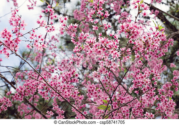 Apricot Tree With Pink Blossom Flowers At The Springtime
