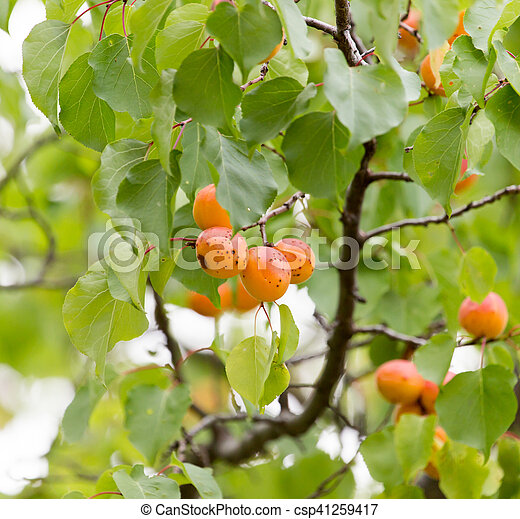 apricots on a tree - csp41259417