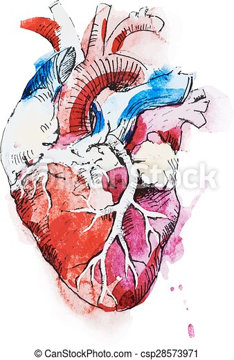 Aquarelle coeur humain beau coeur image aquarelle - Dessin du coeur humain ...