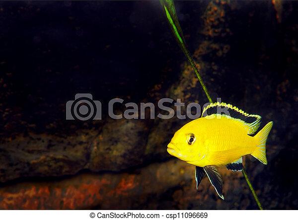 Aquarium Fish Cichlid Hummingbird Yellow Labidochromis Caeruleus