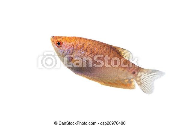 Aquarium Fish Lunar gourami on white background - csp20976400