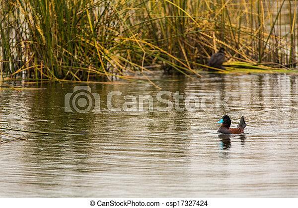 aquatique, coquillage, fish, lac, america.this, oiseaux mer, titicaca, pérou, réservation, îles, chasseurs, oiseaux, national, sud - csp17327424