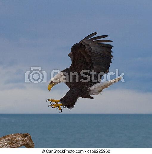 aquila, calvo, atterraggio - csp9225962