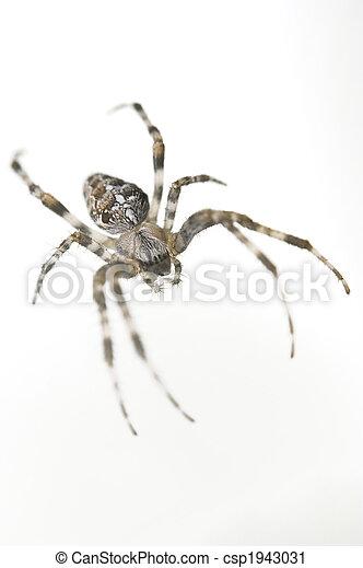 Spider - csp1943031