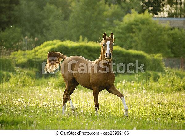 arabian colt trotting in evening meadow - csp25939106