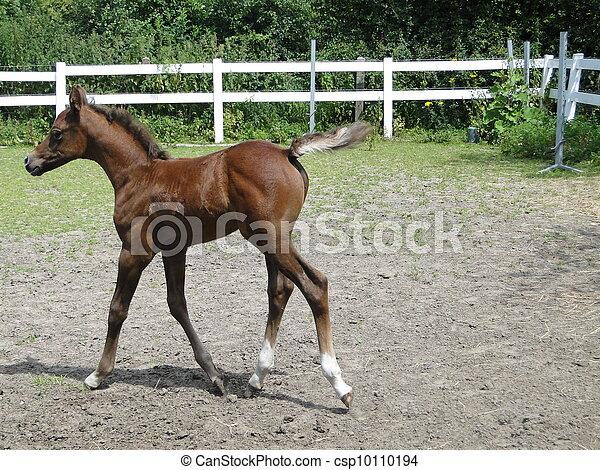 Arabian foal trotting - csp10110194