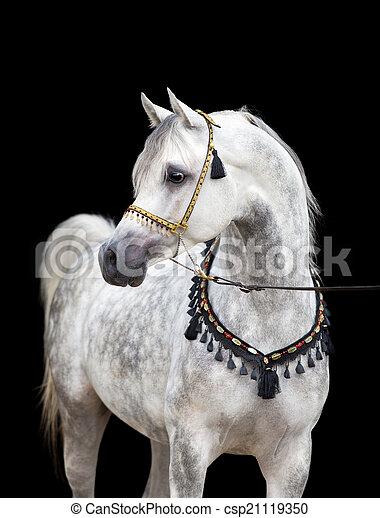Arabian gray horse on black - csp21119350