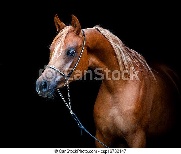 Arabian horse isolated on black - csp16782147