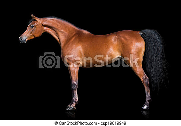 Arabian horse isolated on black - csp19019949