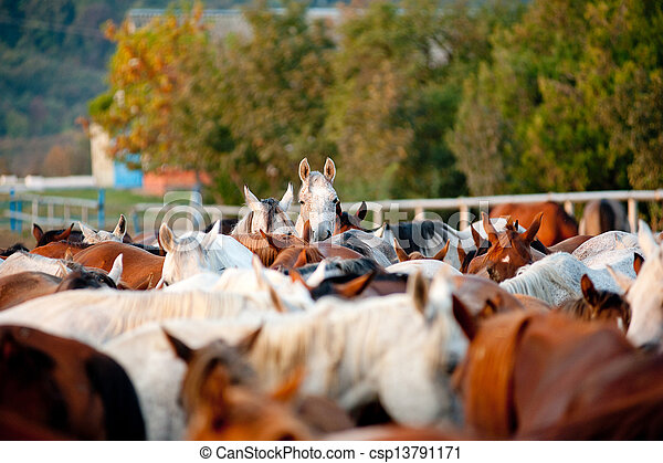 arabian horses in stud - csp13791171