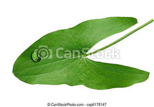 Araceae Leaf - csp6178147