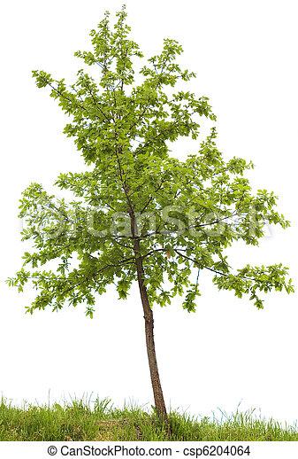 arbre chêne - csp6204064