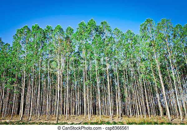 arbre eucalyptus plantation eucalyptus industrie papier photographie de stock. Black Bedroom Furniture Sets. Home Design Ideas