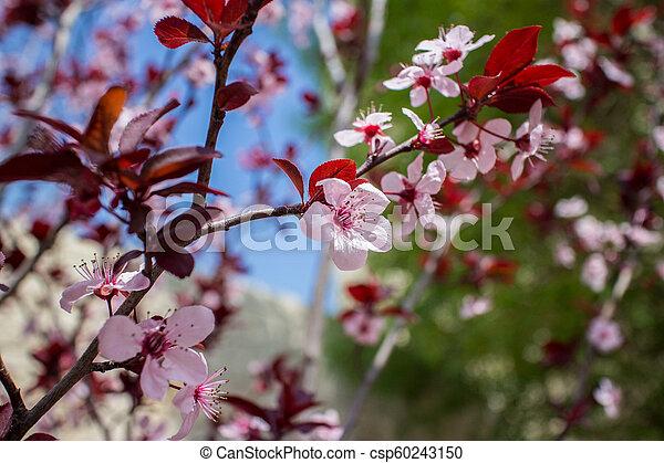 arbre, fleurs, amande, fleur - csp60243150