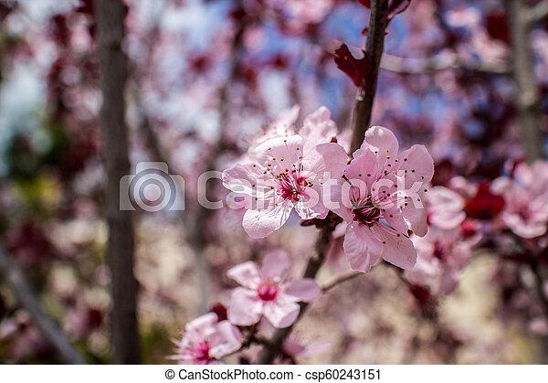 arbre, fleurs, amande, fleur - csp60243151