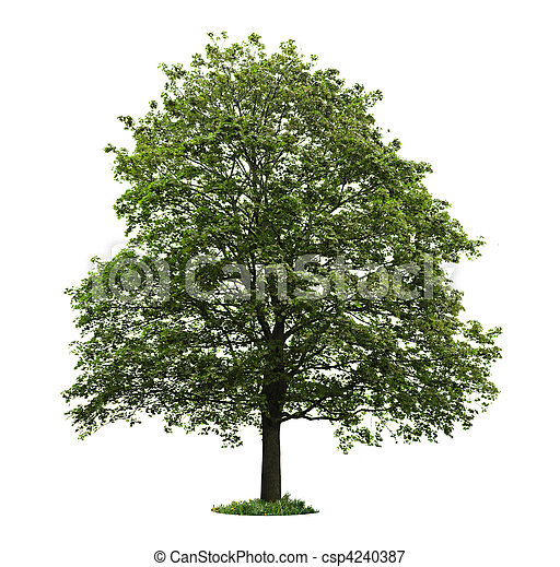 arbre, isolé, érable, mûrir - csp4240387