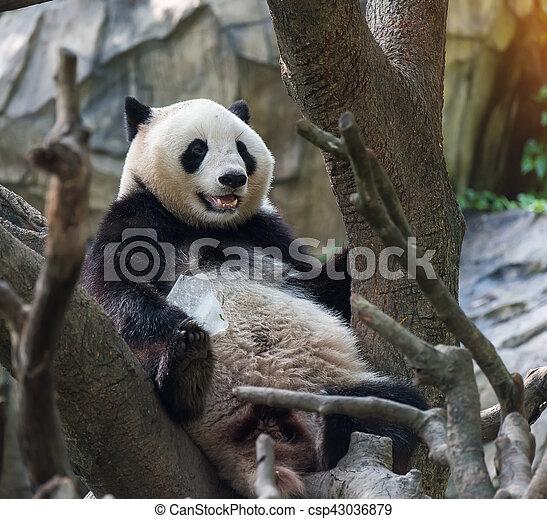 arbre, ours panda, séance - csp43036879