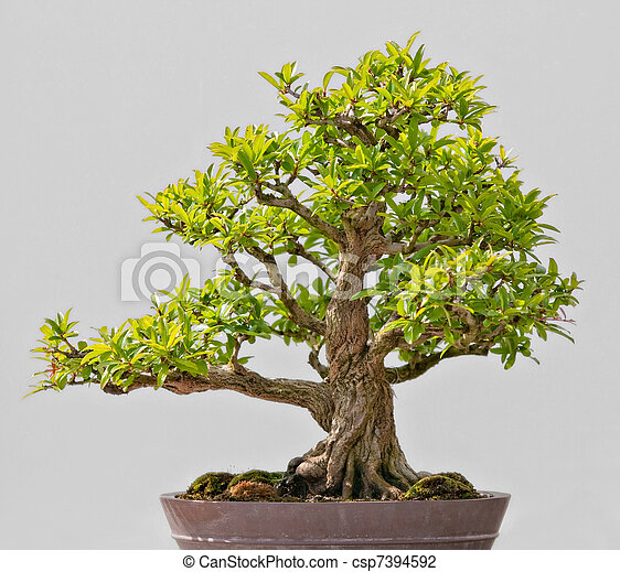 Arbre vert bonsai exposer japonaise arbre vert bonsai - Bonsai arbre prix ...