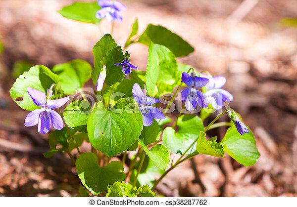 Violetas en el bosque - csp38287762