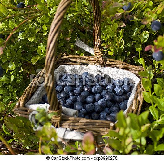 Una canasta llena de arándanos europeos entre arbustos de arándanos - csp3990278