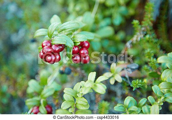 arbustos, fruta, arando - csp4433016