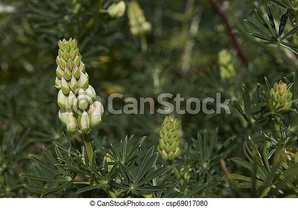 arbustos, lupino, austral, por, florecimiento, carretera - csp69017080