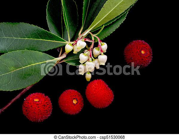 Wild Arbutus unedo - flores y fruta en negro. También conocido como árbol de fresa. - csp51530068