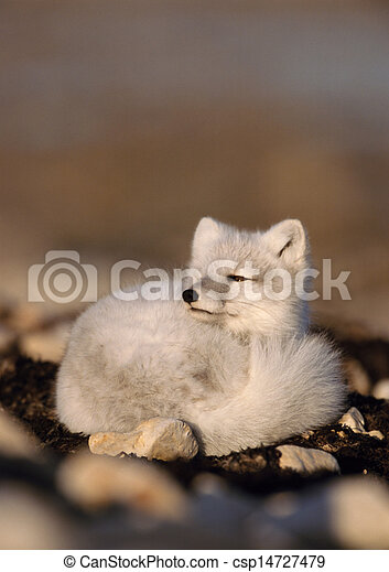 Arctic fox curled up on ground - csp14727479
