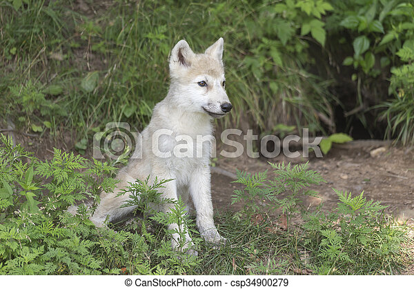 Arctic Wolf pup in the woods - csp34900279