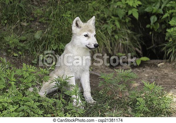 Arctic Wolf pup - csp21381174