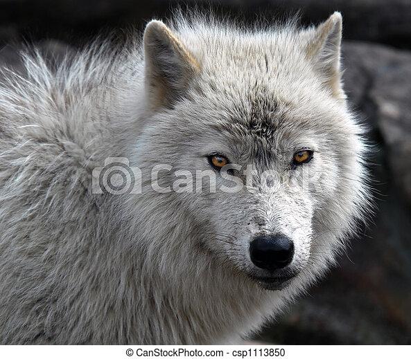 Arctic Wolf - csp1113850
