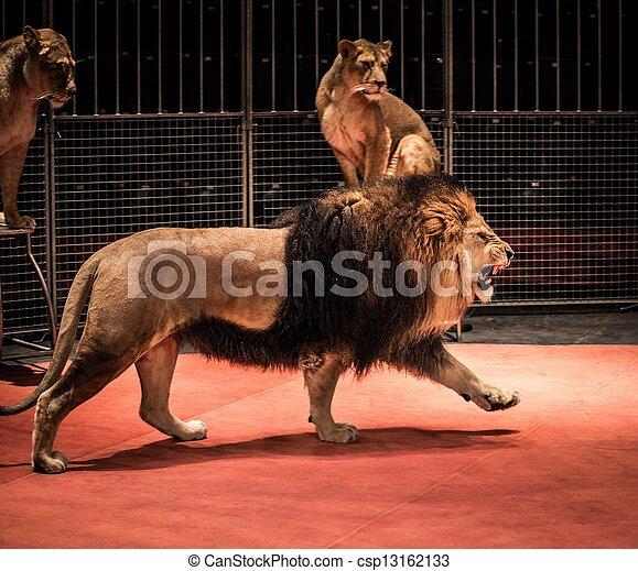 arena, andar, leoa, sentando, circo, leão, deslumbrante, rugindo - csp13162133