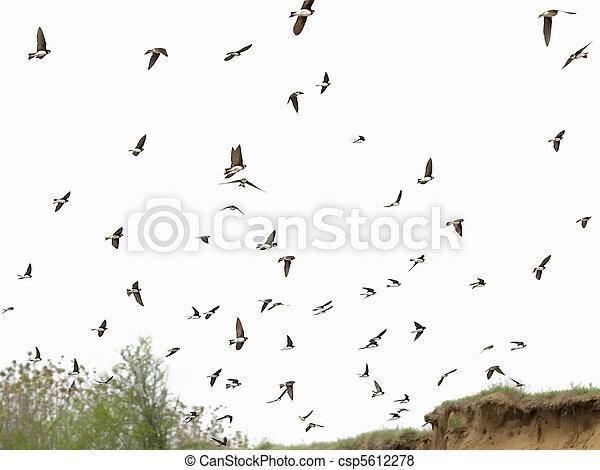 Sand Martin rebaño de aves aisladas - csp5612278