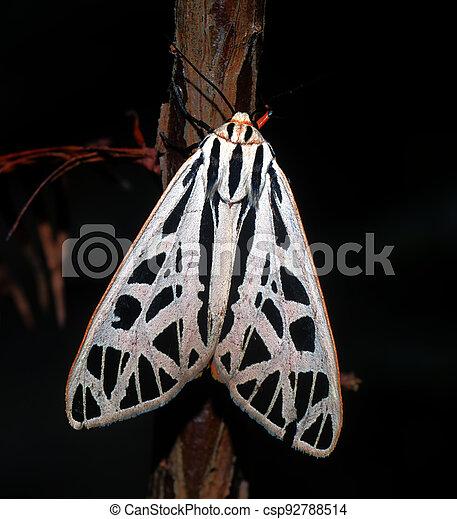 Arge tiger moth (Grammia arge) on bald cypress tree (Taxodium distichum) showing white and black striped pattern, orange border - csp92788514