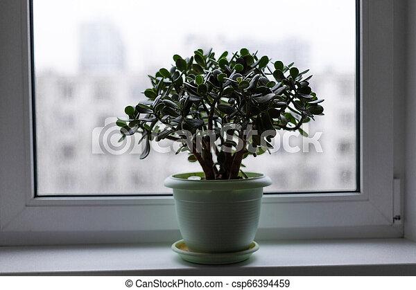 argent, pot, arbre, rebord fenêtre - csp66394459