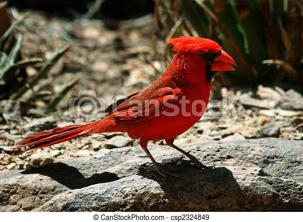 Arizona Cardinal - csp2324849