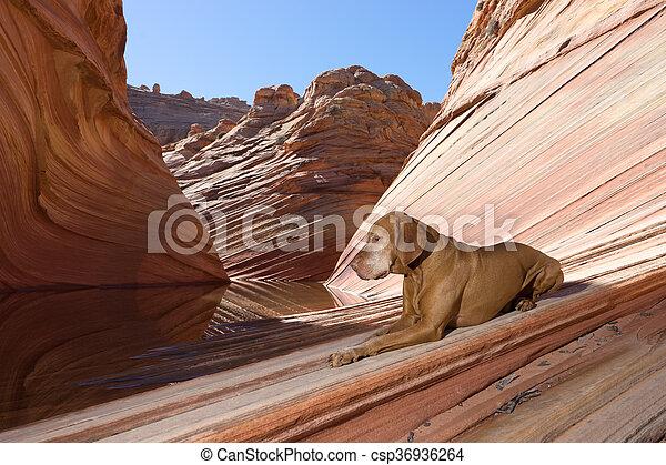 Perro tranquilo vizsla tirado en el suelo en la ola en coyote butte arizona - csp36936264
