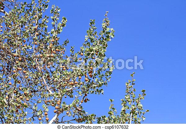 Arizona Sycamore budding spring 2 - csp6107632